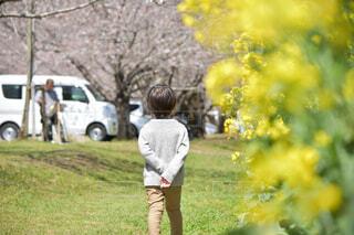 菜の花と桜の道を歩く男の子の後ろ姿の写真・画像素材[4279314]