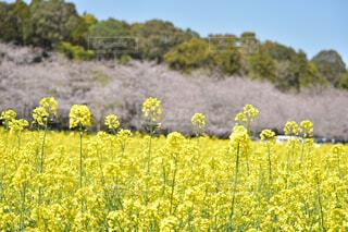 菜の花と桜の写真・画像素材[4303608]