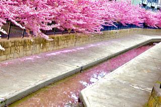 少し早めの桜並木の写真・画像素材[4244465]