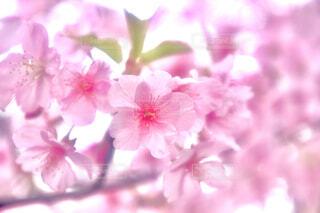 河津桜のクローズアップの写真・画像素材[4244464]