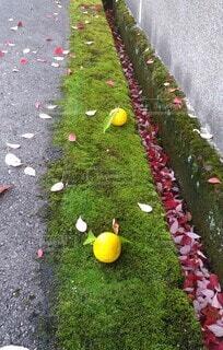 落ち柚子の写真・画像素材[3878424]