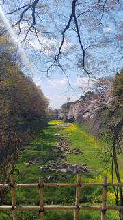名古屋城菜の花と桜の写真です。の写真・画像素材[3825422]