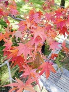 京都の紅葉の写真・画像素材[3825475]