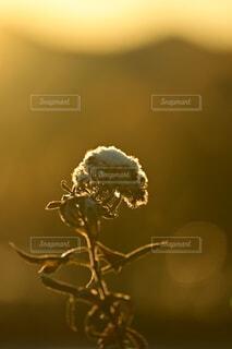 自然,冬,雪,朝日,植物,ぼかし,草,雑草,正月,お正月,日の出,明るい,新年,初日の出