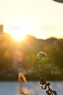 自然,冬,雪,朝日,植物,草,雑草,正月,お正月,日の出,明るい,新年,初日の出