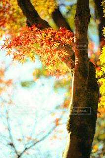 紅葉したカエデのクローズアップの写真・画像素材[3971896]