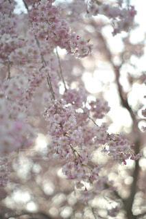 枝垂れ桜の写真・画像素材[4274648]