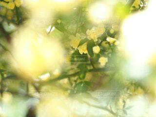 優しい黄色のモッコウバラの写真・画像素材[4301124]