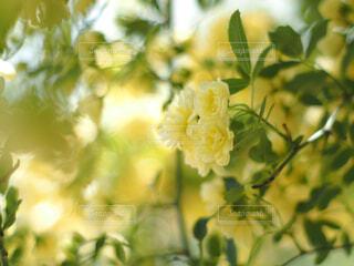 黄色が可愛い小さな薔薇の写真・画像素材[4301167]