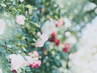 光の中に咲く薔薇の花の写真・画像素材[4355741]
