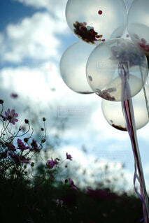 風船と秋桜の写真・画像素材[4462354]