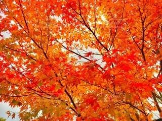 紅葉 モミジ カエデ ハイキングの写真・画像素材[3862962]