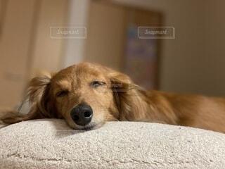 ベッドで熟睡するダックスフンド犬の写真・画像素材[3840460]