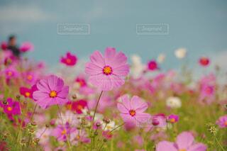 元気いっぱいに咲くコスモスの写真・画像素材[3840166]