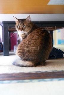 テーブルの下に隠れているネコの写真・画像素材[3840316]
