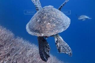 アオウミガメの写真・画像素材[3869107]