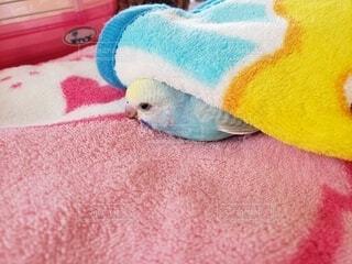 毛布をお布団にして眠るセキセイインコの赤ちゃんの写真・画像素材[3842850]