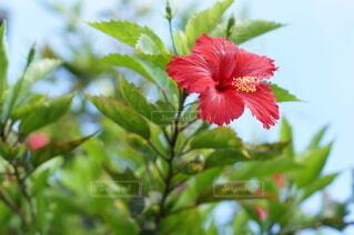 沖縄のハイビスカスの写真・画像素材[3846288]