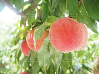 食べごろの桃の写真・画像素材[3849493]