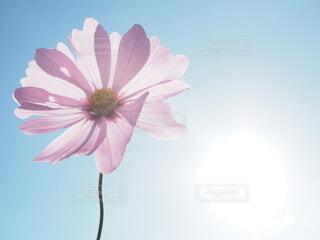 秋桜の写真・画像素材[3849011]