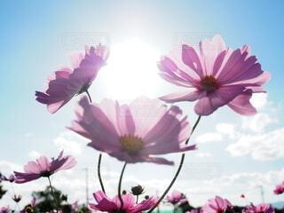 秋桜の写真・画像素材[3849013]
