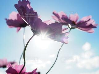 秋桜の写真・画像素材[3852473]