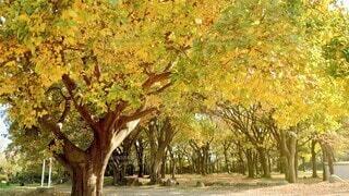 黄色く染まった並木の写真・画像素材[3898066]