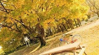 紅葉した大木の側に自転車置いたの写真・画像素材[3901232]
