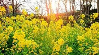 夕日で鮮やかに映る菜の花のアップの写真・画像素材[3973007]