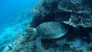 僕のお家〜サンゴと暮らす沖縄のウミガメ〜の写真・画像素材[3853786]