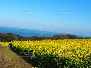 自然,風景,海,空,花,春,屋外,黄色,菜の花,景色,草,一面
