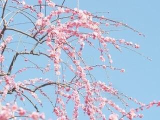 青空に梅の写真・画像素材[4242857]