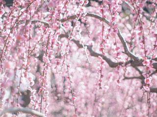 ピンクのきらきらの写真・画像素材[4242856]