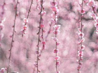 しだれ梅の写真・画像素材[4242854]