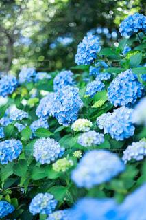 紫陽花の写真・画像素材[4554047]
