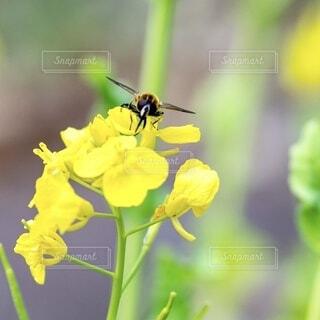 菜の花に止まる蜂の写真・画像素材[3863919]