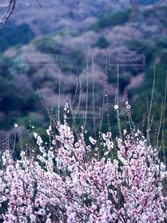 梅の枝が真っ直ぐ上に伸びているの写真・画像素材[3863921]
