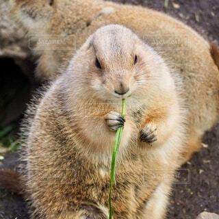 プレーリードッグが草を食べているの写真・画像素材[3863934]