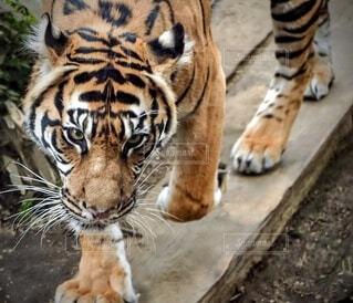 カメラを見ている虎の写真・画像素材[3863937]