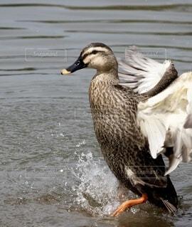 鴨が水飛沫をあげ羽を広げるの写真・画像素材[3863971]