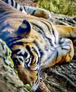 虎が横たわり眼だけ睨んでるの写真・画像素材[3864843]