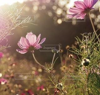 夕陽をあびたコスモスの写真・画像素材[3864845]