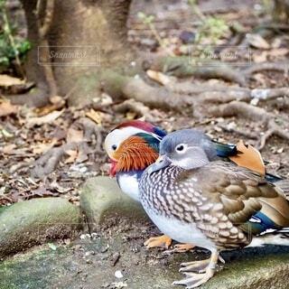 オス メス2羽並んでるオシドリの写真・画像素材[3941721]