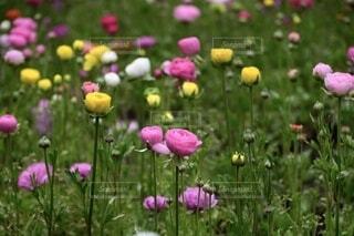 芝生で覆われた畑の上にピンクの花のグループの写真・画像素材[3941885]