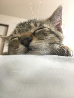 横になって、カメラを見ている猫の写真・画像素材[973216]