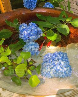 雨,緑,あじさい,青,紫陽花,日本,和,涼しげ,梅雨,金魚鉢,アジサイ