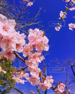 桜,ピンク,カラフル,綺麗,青空,旅行,日本,桜色,和,静岡,伝統,桃色,インスタ映え