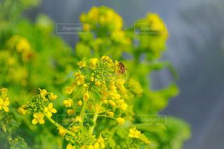 花,春,緑,黄色,菜の花,鮮やか,草,蜂,虫,日本,イエロー,グリーン,Green,ハチ,草木,yellow,インスタ映え