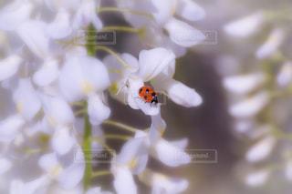 春,白,かわいい,フラワー,ラベンダー,白い,美しい,虫,旅行,夫婦,可愛い,てんとう虫,明るい,japan,藤の花,パステルカラー,草木,香り,足利フラワーパーク,おしゃれ,ファンシー,インスタ映え,ボヤけ,ふじの花,息を飲む美しさ
