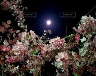 夜桜と満月の写真・画像素材[3922360]
